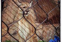 Cougars / Como Zoo's Cougars