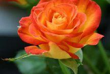 Rosen  natur