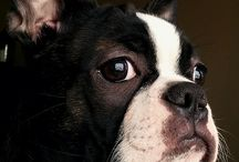 Boston Terrier / My favourite dog