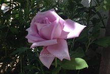 Flowers / Natural Flowers of my garden ! No filter in the pict :) Principally picts of roses :)