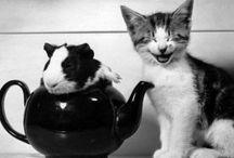 Cats Meow : Guinea Pigs Wheek