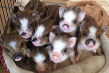 cuddly sweet baby pigs