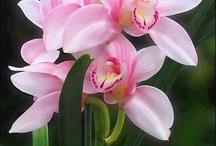Orchid   兰花