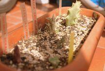 kaktusowo / początki, dzięki Agnieszce