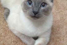 Tonkinese Cat silver