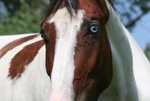 Tobianos with Blue Eyes / The horses in this group have the tobiano pattern and blue eyes, and no known lines to other white patterning.