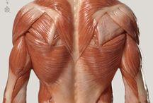 Anatomia - Costas