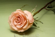Rose board / by floressence flowers