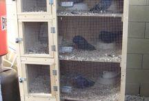 Pigeon Pleasures / Building aviary, nesting, mating habits, heating, eggs, baby chicks, pigeons, racing pigeons, feed, water