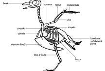 Adler (Vögel) Anatomie Skelett