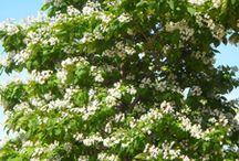 Catalpa trees