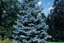 Blue spruce pines