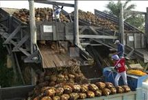 Plantations to Mills / Fresh fruit bunches of palm fruitlets are transported to mills for palm oil processing.