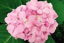 Garden Flowers / Beautiful garden flowers, roses, hydrangea, daisies, lilies and more...