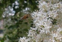 Api, bijen, bees