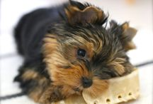 Yorkshire terrier - Enzo / My lovely yorkie Enzo <3