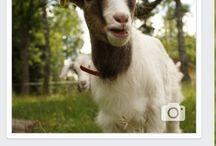 Boglárka the goat