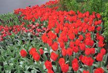 Eu amo flores ( i love flowers)! / Flores diversas, viagem a Amsterdam