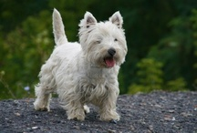 My Favourite Dog (now also including Scotties!) / A beautiful breed of dog that I would love to have as a pet.