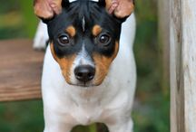 RAT TERRIERS / by Chrissy Chappell