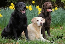 Labradors / Labradors: a favourite family dog for many years.  The labrador is first and foremost a working dog, however, excelling at retrieving game on the shooting field.