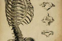 Anatomía - Esqueleto