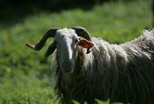 Races Ovines France / #élevage #mouton #agneau #ovin #race
