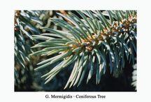 Natur / Coniferous Tree