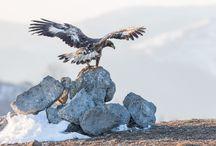 Golden eagle, Steenarend