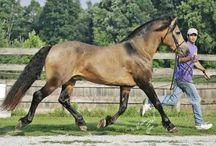 Inspiration Behind the Models: Connemara Pony / Images of the Connemara Pony, a breed native to the British Isles and the inspiration behind our Copperfox Connemara Pony Model.