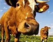 Grass Fed Beef (Contemporary Issues in AG)
