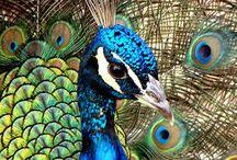 Peacock / by Krystal Greene