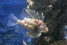 Atlantischer Rotfeuerfisch