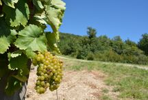Furmint Grape Variety