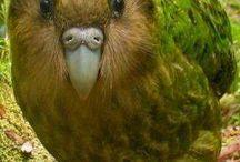 Stringops / Questa particolarissima specie di pappagallo annovera un solo esemplare, il famoso kakapo. Famoso per il fatto di essere l'unico pappagallo inetto al volo: le sue ali appaiono atrofizzate e l'eccessivo peso corporeo rende le sue possibilità di decollo del tutto inesistenti. Le stesse penne remiganti e timoniere sono scarsamente sviluppate e presenti solamente come un residuo evolutivo.