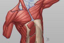 anatomia/ Uns músclo