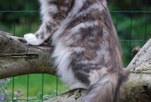 Maine Coon - Blue Torty Silver Blotched / #MaineCoon #Blue #Torti #Silver #Blotched #Cats