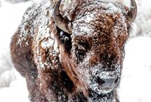 Buffalo or Bison / call it what you may it's my favorite animal ...<3