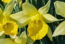 Daffodils=Happy!