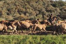 Le Henson / Le cheval de la baie de Somme