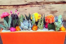 Cactus, Cacti, and Succlents / Cactus, cacti, succulents, indoor cactus, cactus garden, indoor cactus garden, colorful cactus, how to grow cactus