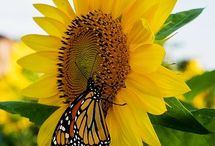 Sunflower Inspiration / by Kimberly Kirk-Cesaretti