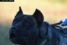 PRESA CANARIO---BUCOVINA WORKING DOGS