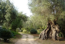 Alberi di Ulivo e paesaggi campestri / In questa galleria potrete osservare la meraviglia monumentale degli alberi di ulivo e del loro contesto campestre