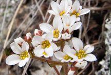 Micranthes virginiensis