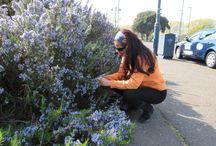 Alecrim - Rosemary - A Erva da Memória / Colhendo Alecrim nos jardins e parques de Portsmouth.Um dia para se guardar na Memória do Coração