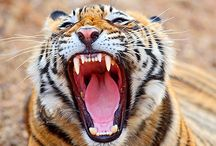 Man-eating tigress on the prowl claims its tenth victim