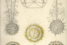 Scientific/botanical illu