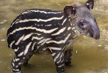 tapir n hippo