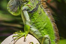Family Iguanidae.